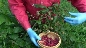 Farmer harvesting ripe sweet raspberries stock footage