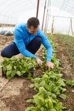 Farmer harvesting spinach Stock Photo