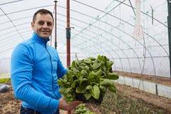Farmer harvesting spinach Royalty Free Stock Photo