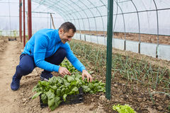 Farmer harvesting spinach Royalty Free Stock Photo
