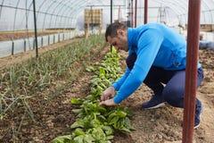 Farmer harvesting spinach Stock Photos