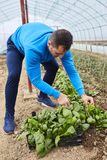 Farmer harvesting spinach Stock Images