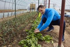 Farmer harvesting spinach Royalty Free Stock Photos