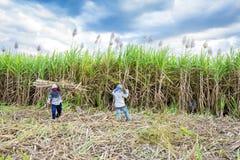 Farmer harvesting of sugarcane field Stock Images