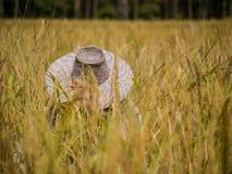 A farmer harvesting Royalty Free Stock Image