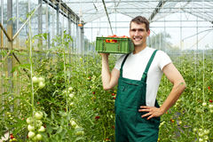 Farmer harvesting tomatoes stock image