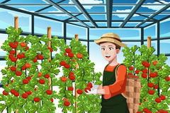 Farmer harvesting tomatoes Royalty Free Stock Photography