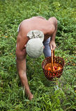 Farmer Harvesting Vegetable Royalty Free Stock Photography