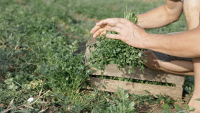 Farmer in hat harvesting fresh parsley by knife on the field of organic eco farm. Closeup of man picking greenery from land and putting it in wood box Royalty Free Stock Photos