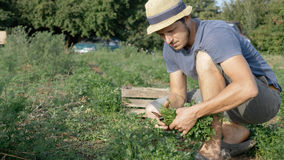 Farmer in hat harvesting fresh parsley by knife on the field of organic eco farm. Closeup of man picking greenery from land and putting it in wood box Stock Photo