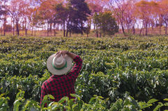 Farmer with hat looking the coffee plantation field. Farmer with hat looks into the distance the coffee plantation field. Concept Image Stock Image