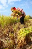 Farmer havesting rice Royalty Free Stock Image