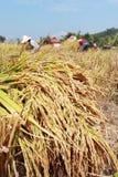 Farmer havesting rice Royalty Free Stock Photos