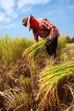 Farmer Havesting Rice Royalty Free Stock Images