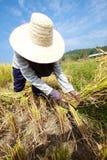 Farmer havesting rice Stock Photos