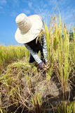 Farmer havesting rice Royalty Free Stock Photo