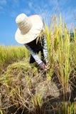 Farmer Havesting Rice Royalty Free Stock Photo
