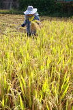 Farmer havesting rice Royalty Free Stock Photography