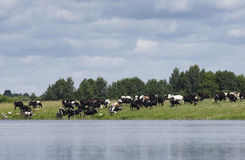 The farmer herd of cows is grazed. Near the river and some cows drink water Royalty Free Stock Image