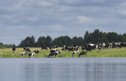 The farmer herd of cows is grazed Royalty Free Stock Photo