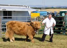 Farmer with Highland Cow Stock Photography