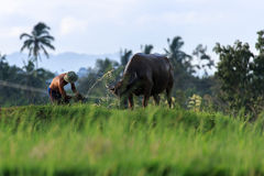 The Farmer and His Cow in West Sumatra Royalty Free Stock Images