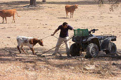 A farmer with his cows in Alentejo, Portugal Royalty Free Stock Photography