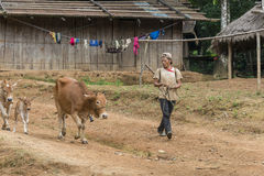 Farmer with his cows in Laos Royalty Free Stock Photography