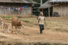 Farmer with his cows in Laos Stock Images