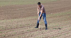 Farmer hoeing soil. Young farmer hoeing weeds in corn field in spring royalty free stock photography