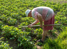 Farmer hoeing vegetable garden Royalty Free Stock Photo