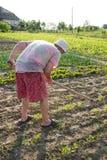 Farmer hoeing vegetable garden Stock Photography