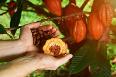 Farmer hold cacao seeds. In hands palms om tree cocoa backgraund. Farmer harvest results stock photo