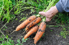 Farmer hold freshly harvested ripe carrots Stock Photo