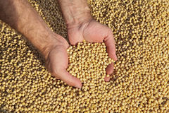 Farmer hold soy bean crop Royalty Free Stock Image