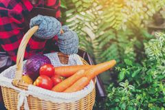 Farmer holding basket of fresh tomatoes, carrots,cabbage at farm outdoor. Food, vegetables, agriculture, organic food royalty free stock photo