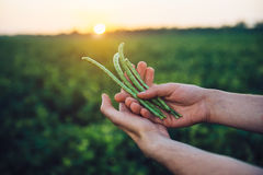 Farmer holding bean crop in hands standing on green field before the harvest. Agricultural industry concept Stock Image