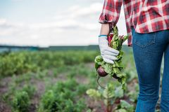 Free Farmer Holding Beets In Field Royalty Free Stock Images - 103923659