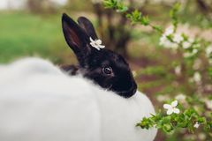 Farmer holding black rabbit in spring garden. Little bunny with flowers on head sitting in hands stock photo