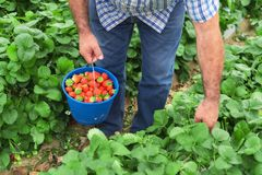 Farmer holding blue bucket in a strawberry field stock photos