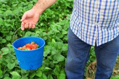Farmer holding blue bucket in a strawberry field royalty free stock photo