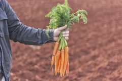 Farmer holding a bunch of carrots. Proud hardworking farmer holding a bunch of fresh organic carrots from his garden stock image