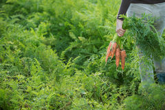 Farmer holding a bunch of carrots Royalty Free Stock Photography