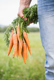 Farmer holding bunch of organic carrots Royalty Free Stock Image