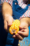 Farmer holding corn cob in hand in corn field Stock Images