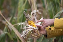Farmer holding corn with disease stock photo