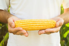 Farmer holding corn maize cob Royalty Free Stock Images