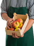 Farmer holding crate with fresh harvested apples Royalty Free Stock Image