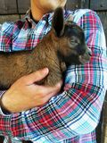 Farmer holding cute brown newborn goat, close up, wooden background. Rustic scene, farm life. royalty free stock photo