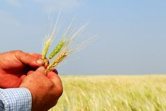 Farmer Holding Durum Wheat. A farmer inspects a durum wheat crop, note the hardworking and dirty hands Stock Image